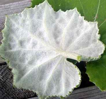фото листья мать-и-мачеха